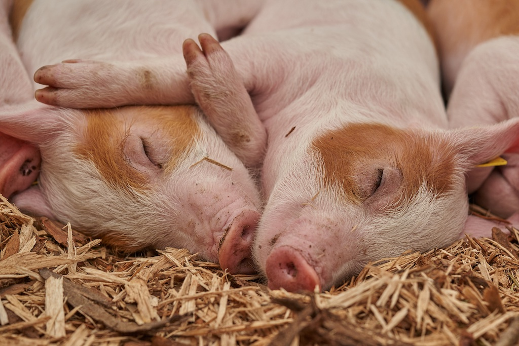 Piglets sleeping in straw